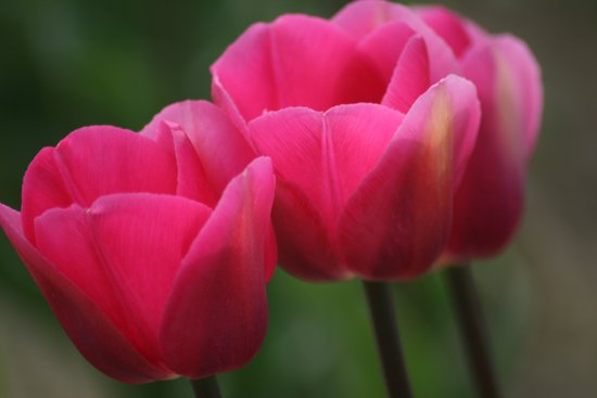 Tulip Festival 1 Art Print
