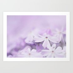 Purple Phlox Art Print