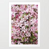 Apricot blossoms Art Print