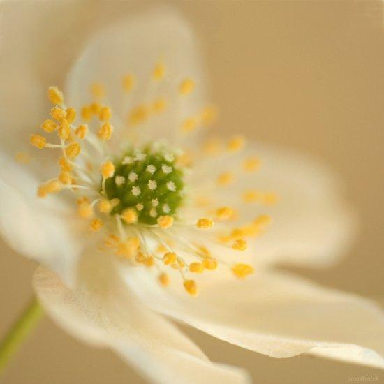 Blossom In Creme Canvas Print