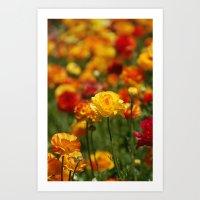 Yellow and orange ranunculus flower Art Print
