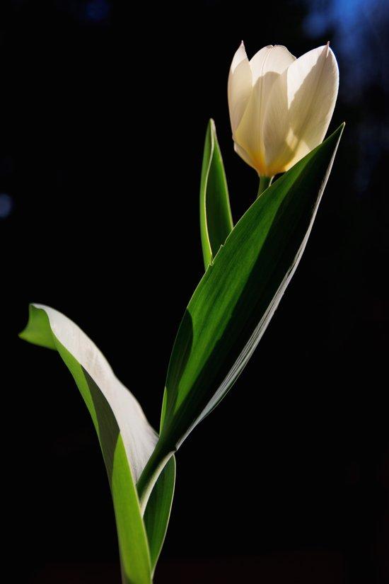Tulipano Art Print
