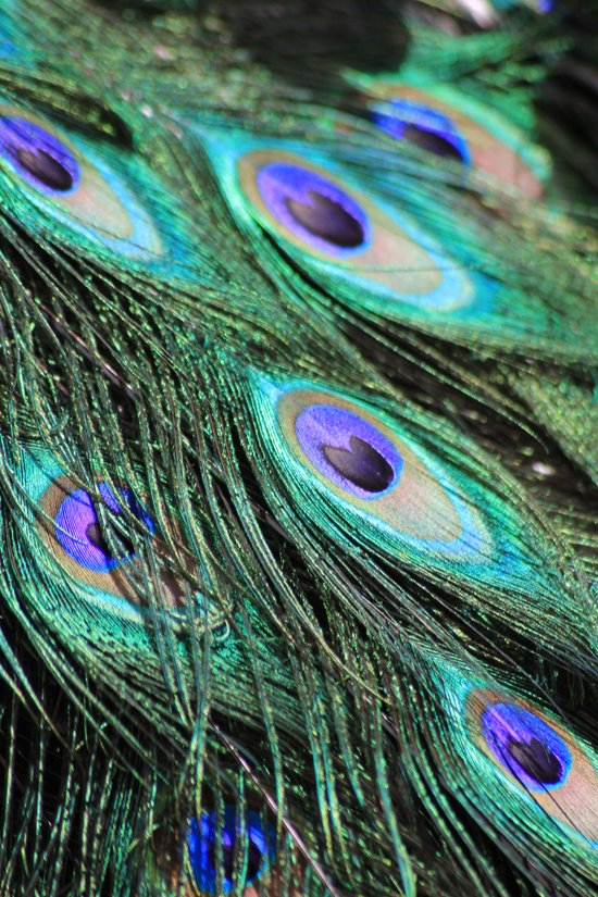 peacock feathers Art Print