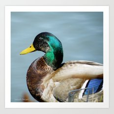 Duck in Pond Art Print