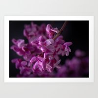 Red Bud Blossoms  Art Print