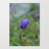 Lone Blue-Purple Anemone Canvas Print
