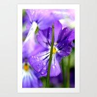 purple pansys  Art Print