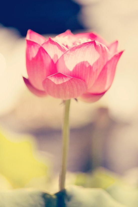 Pink Water Lotus Art Print