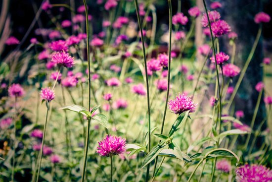 Pink Thistle Flowers in Field Art Print