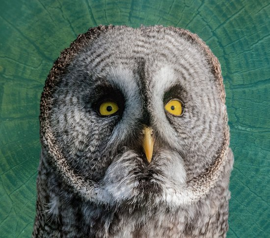 GREY OWL Art Print