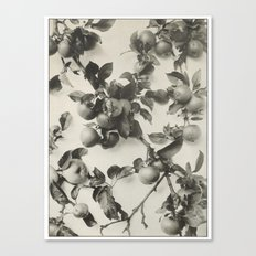 Vintage Apple Botanical Canvas Print