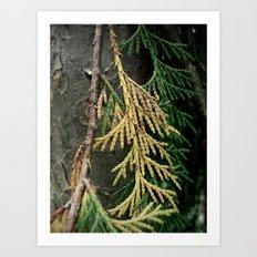 Cedar branch Art Print