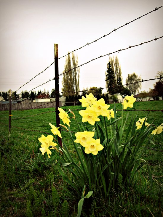 Daffodils and barbed wire Art Print
