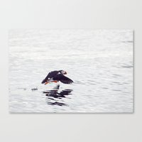 Puffin approaching! Canvas Print