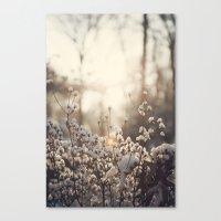 Northern Cotton Canvas Print