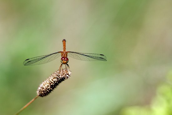 Autumn Meadowhawk Dragonfly Art Print