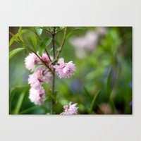 Flowering Almond Blossoms II Canvas Print