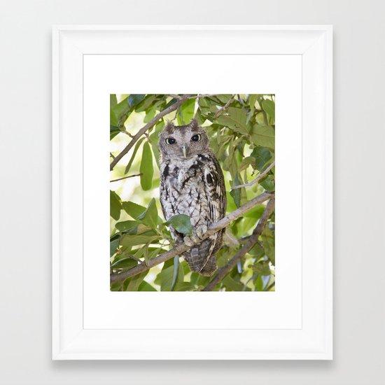 Screech Owl Framed Art Print