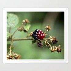 Berry Ripening Art Print