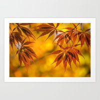 Maple In The Gold Fall Art Print