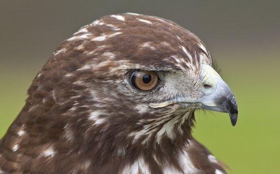 Red-tailed Hawk Portrait Art Print