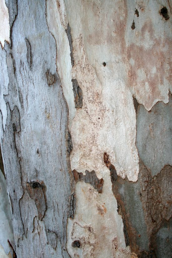 Bark Of A Eucalyptus Tree  Art Print