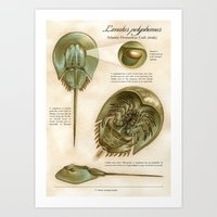 Atlantic Horseshoe Crab Art Print