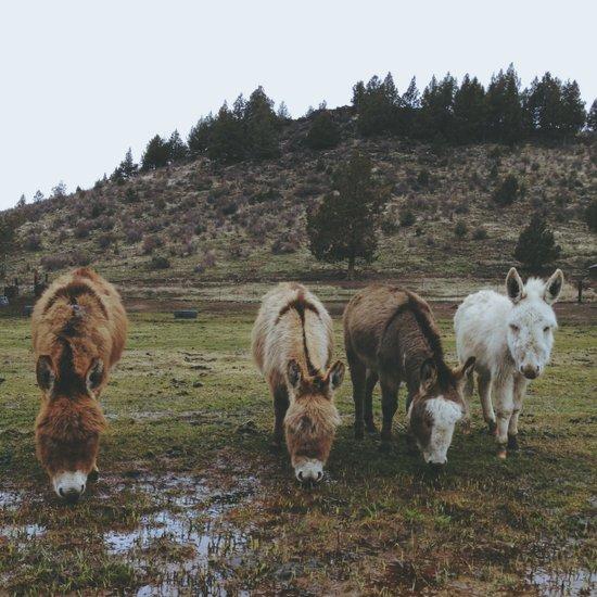 Miniature Donkeys Canvas Print