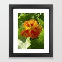 nasturtium bloom XI Framed Art Print
