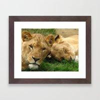 Asian Lions (Panthera leo persica) Framed Art Print