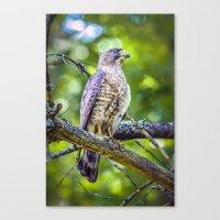 Broad wing Hawk Canvas Print