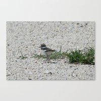 Canvas Print featuring Baby Killdeer by Ornithology
