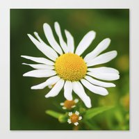 Wild Daisy Canvas Print