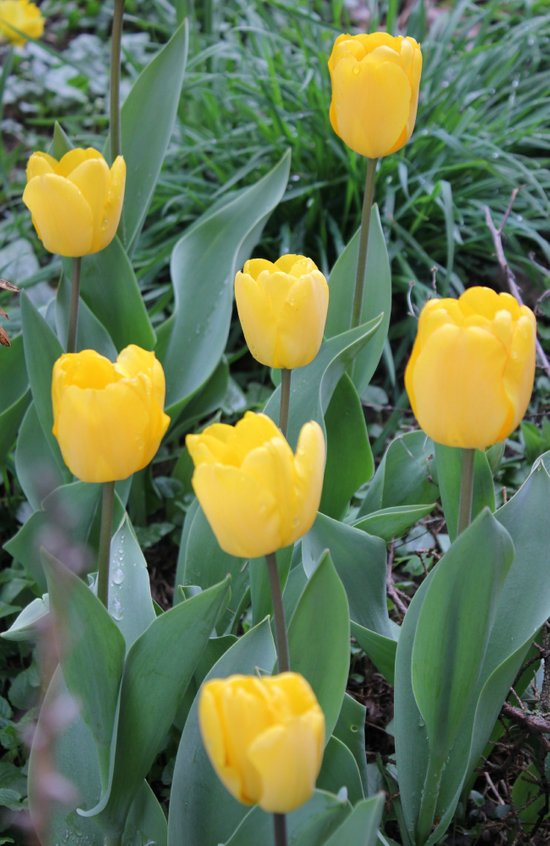 Appledorn Tulips Canvas Print