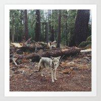 Injured Coyote Art Print