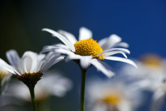 Marguerite Daisy3609 Canvas Print