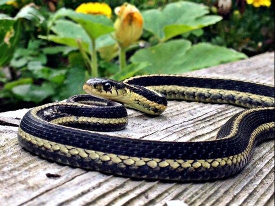 Garter Snake, High Park Gardens Art Print
