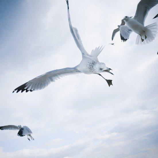 Seagull {Two} Art Print