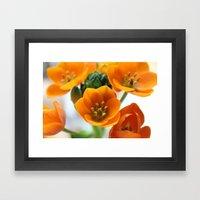 Ornithogalum, the flower of hope Framed Art Print