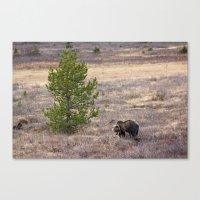 Wild Bear Canvas Print