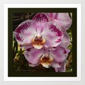Pink Orchid Blossom from Mexico Art Print
