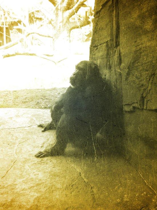 The Thinking Chimp.  Canvas Print