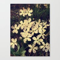 Phlox Canvas Print