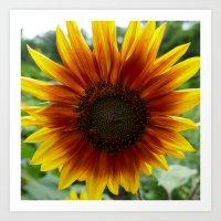 New Day Sunflower Art Print