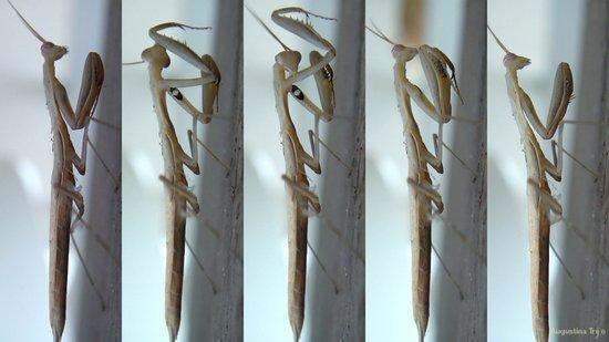 White Praying Mantis Art Print