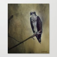 The Young Osprey Canvas Print