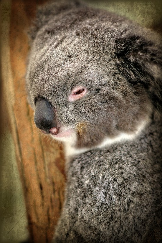 Sleepy Koala Art Print