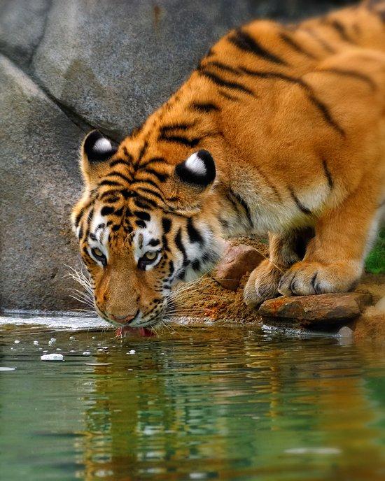 A thirsty Amur tiger. Art Print
