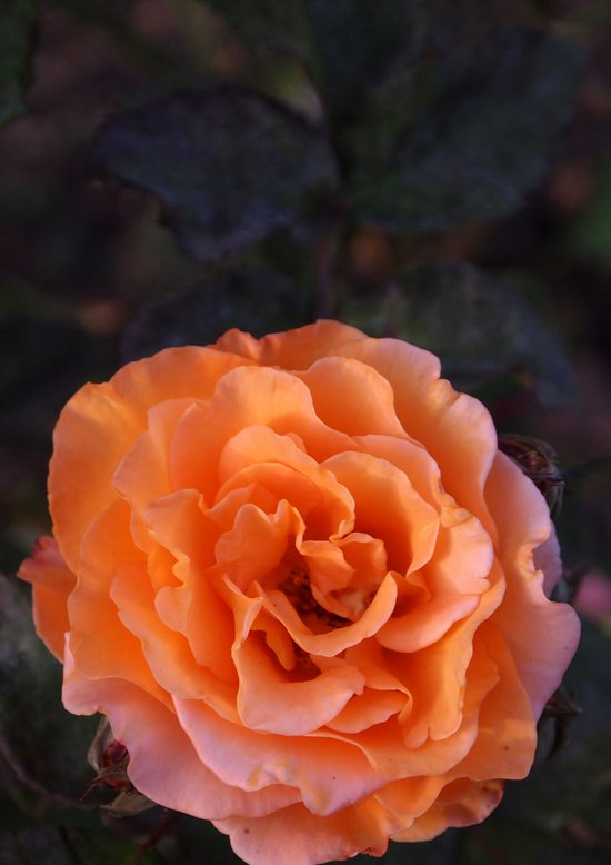 Holland Park Rose Art Print