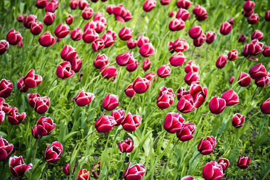 Tulips will remember  Art Print